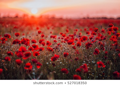 beautiful-field-red-poppies-su